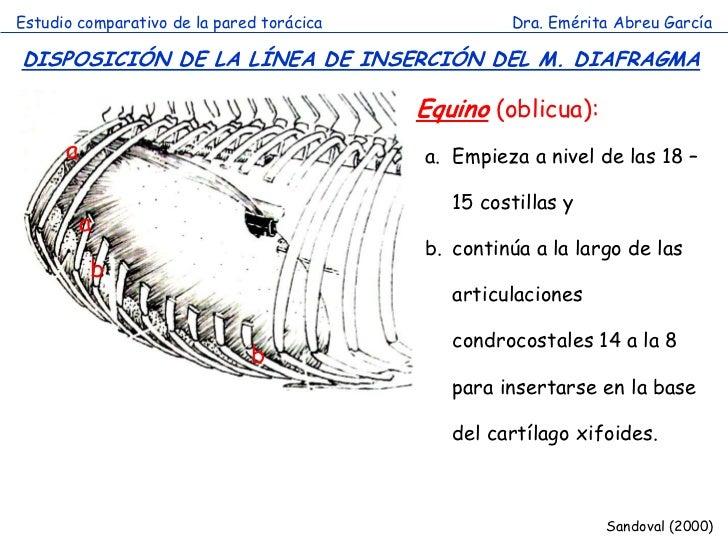 Estudio comparativo de la pared torácica            Dra. Emérita Abreu GarcíaDISPOSICIÓN DE LA LÍNEA DE INSERCIÓN DEL M. D...