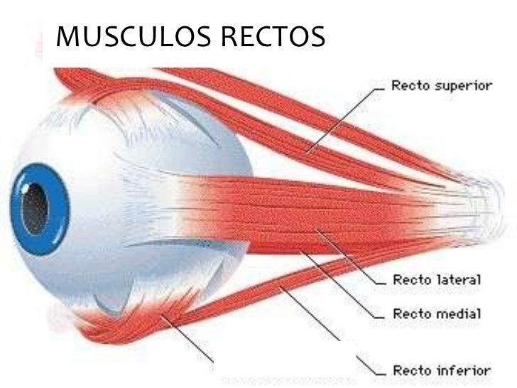 Músculos de la Órbita Ocular