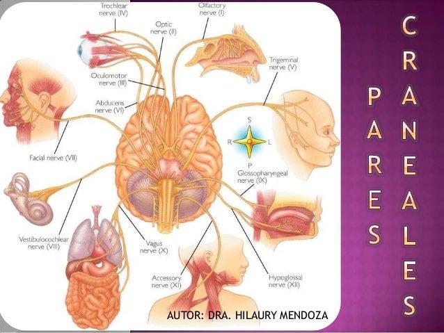 Generalidades de pares craneales nervio olfatorio y for Cuarto par craneal