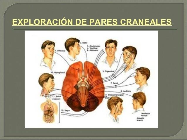EXPLORACIÓN DE PARES CRANEALES