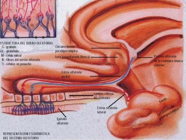 2do. PAR (NERVIO OPTICO)  Son 4 las neuronas relacionadas con la conducción de los impulsos visuales hacia la corteza vis...