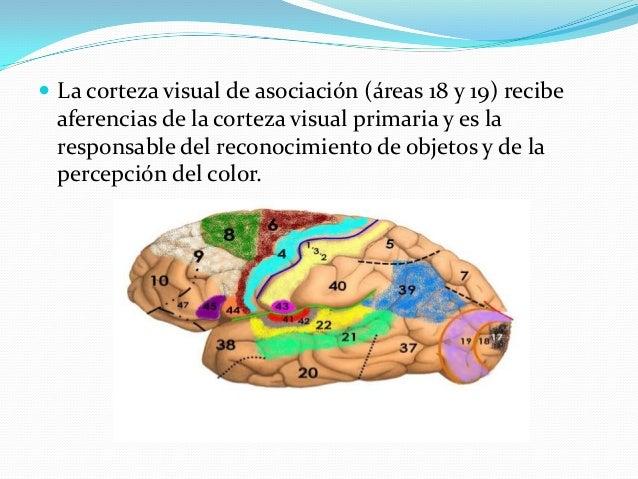 Interpretación:  Un escotoma es un defecto en un campo visual. Según el nivel donde se localiza la lesión de la vía visua...