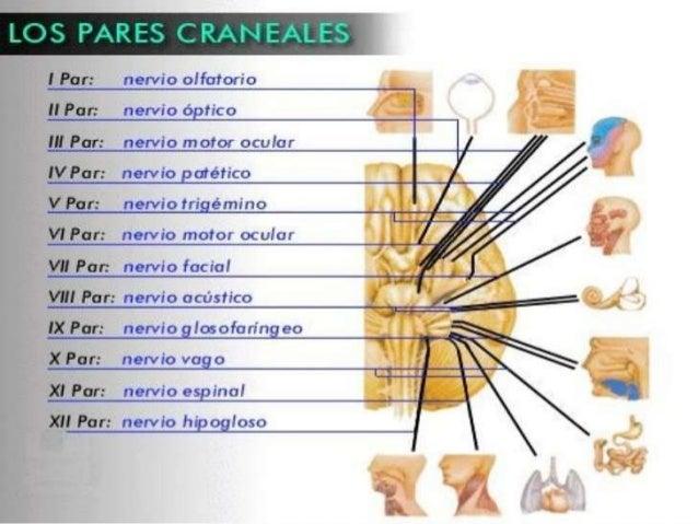  Los nervios olfatorio y óptico emergen del cerebro, mientras el resto lo hace del tronco encefálico.  Algunos pares cra...