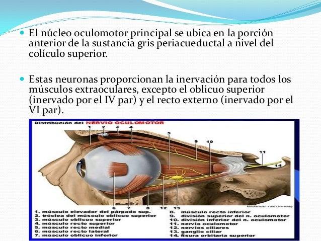 Se observa si la motilidad es normal en cada globo ocular y en los 2 a la vez (mirada conjugada horizontal, vertical y con...