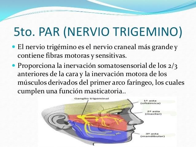 Interpretación:  La afectación del nervio o alguna de sus ramas ocasionará debilidad y atrofia de la musculatura correspo...