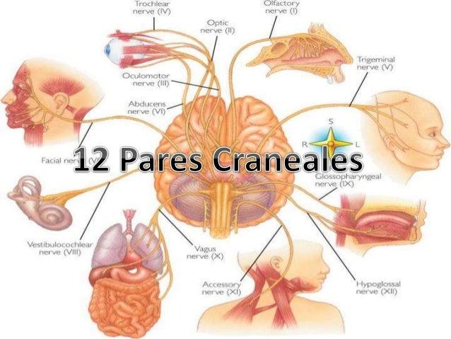 12 pares craneanes for 12 paredes craneales