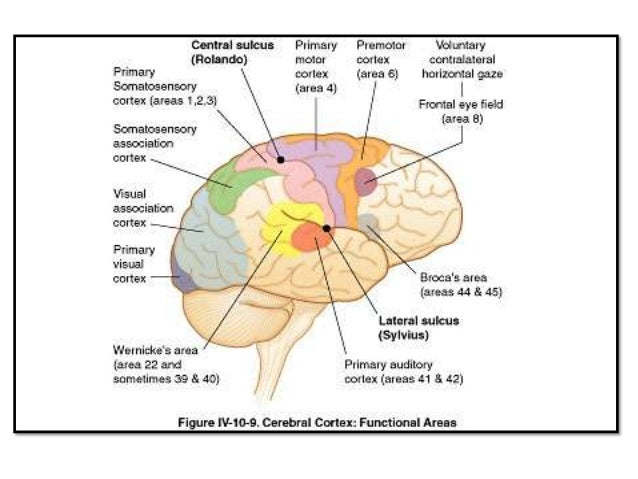 Parietal Lobe And Its Functions
