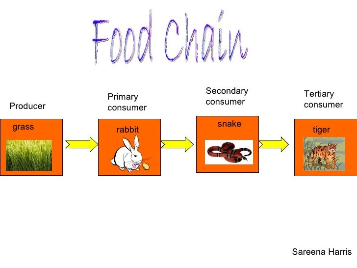 Food Chain Sareena Harris grass Producer rabbit Primary consumer snake Secondary  consumer tiger Tertiary consumer