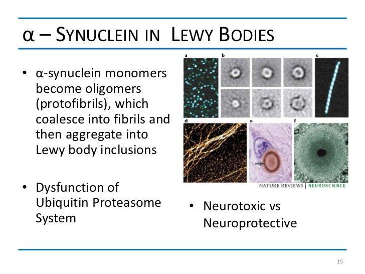 α – SYNUCLEIN IN LEWY BODIES• α-synuclein monomers  become oligomers  (protofibrils), which  coalesce into fibrils and  th...