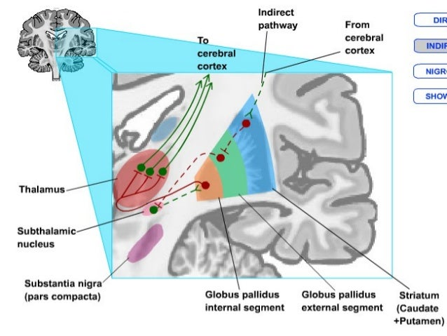  BG plays a role in some cognitive processes in awareness of body orientation in space, ability to adapt behaviour as tas...