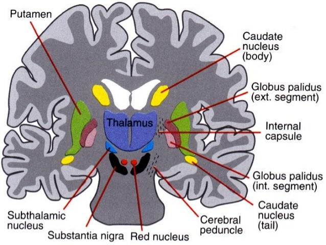  Dopamine is produced by cells in the pars compacta of the substantia nigra (SNpc).  A 70 to 80 percent loss of neurons ...