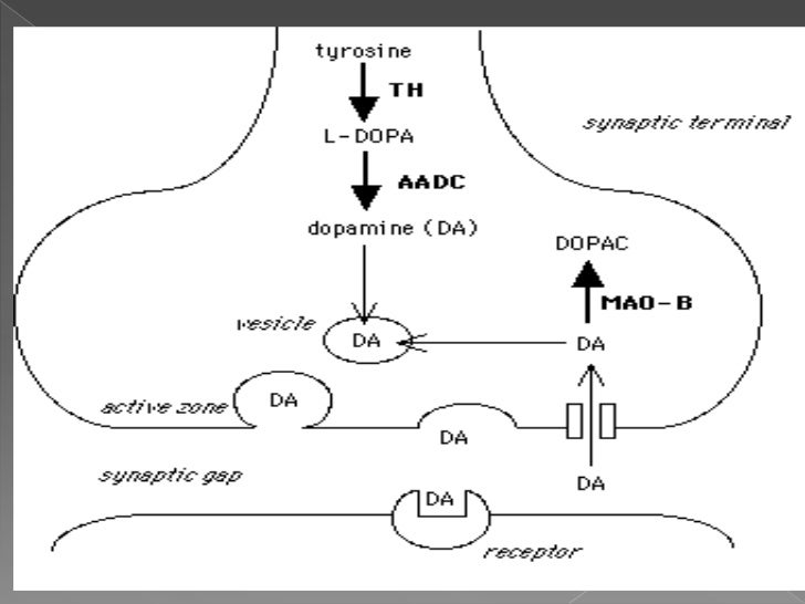 Dopamine Receptors.The actions of dopamine in the brainare mediated by a family ofdopamine-receptor proteins. Two types of...