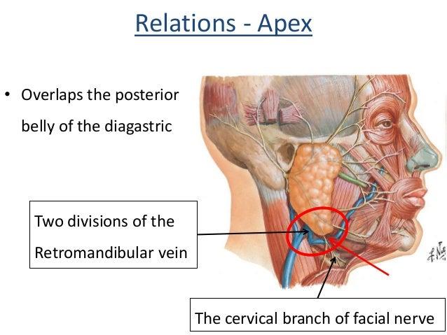 Parotid gland & Facial nerve