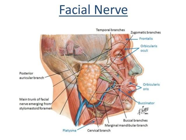 Facial nerve parotid gland