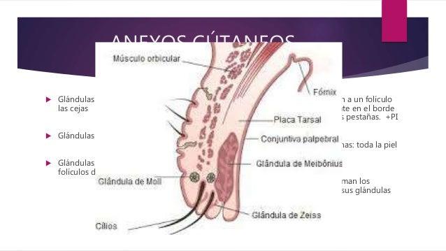 Parpados - anatomia, histologia y fisiologia