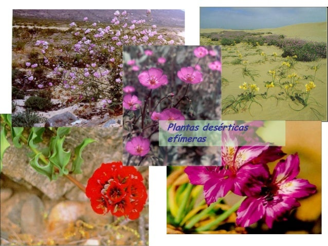 Plantas desérticas efímeras