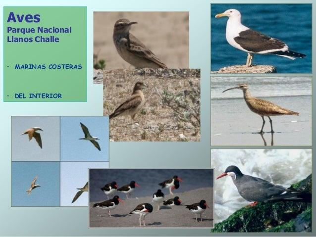 Aves Parque Nacional Llanos Challe • MARINAS COSTERAS • DEL INTERIOR
