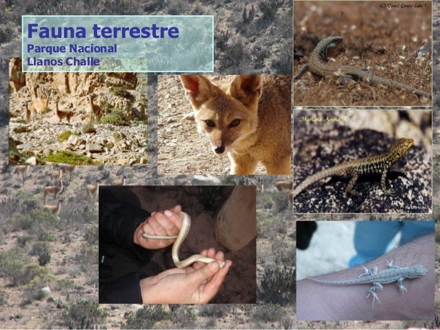 Fauna terrestre Parque Nacional Llanos Challe
