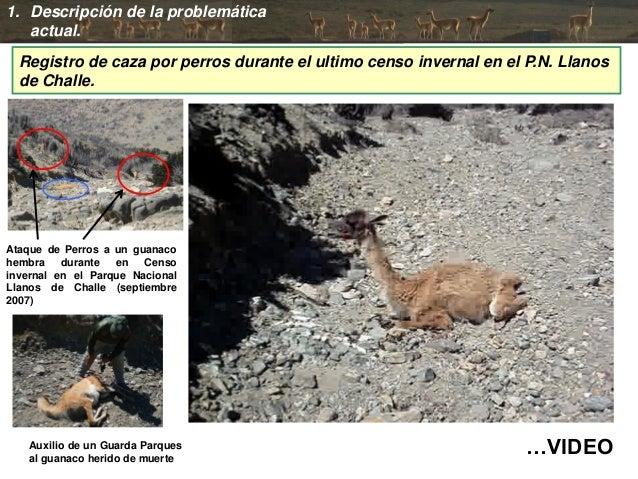 …VIDEO 1. Descripción de la problemática actual. Ataque de Perros a un guanaco hembra durante en Censo invernal en el Parq...