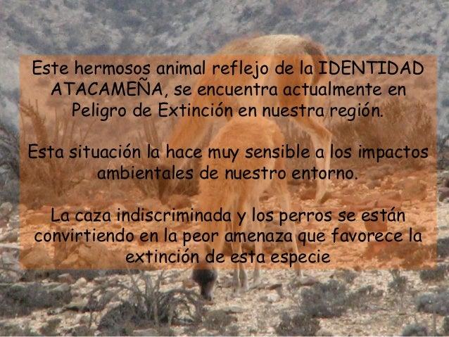 Este hermosos animal reflejo de la IDENTIDAD ATACAMEÑA, se encuentra actualmente en Peligro de Extinción en nuestra región...