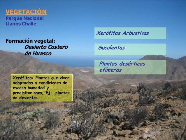 VEGETACIÓN Parque Nacional Llanos Challe Formación vegetal: Desierto Costero de Huasco Xerófitas: Plantas que viven adapta...