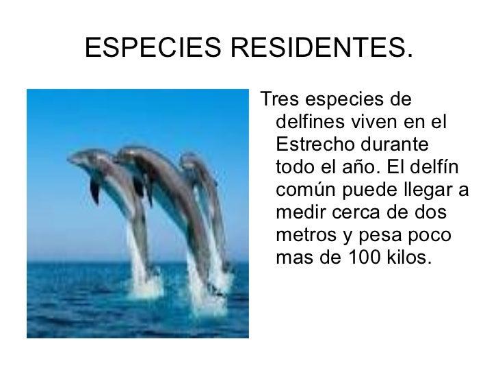 ESPECIES RESIDENTES. <ul><li>Tres especies de delfines viven en el Estrecho durante todo el año. El delfín común puede lle...