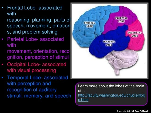 • Frontal Lobe- associated with reasoning, planning, parts of speech, movement, emotion s, and problem solving • Parietal ...