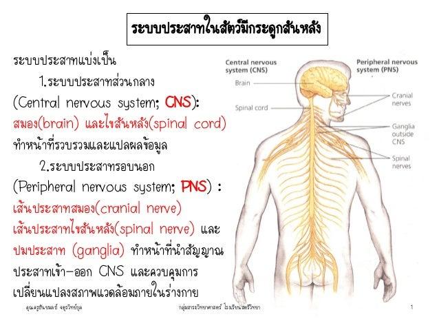 ระบบประสาทแบ่งเป็น 1.ระบบประสาทส่วนกลาง (Central nervous system; CNS): สมอง(brain) และไขสันหลัง(spinal cord) ทาหน้าที่รวบร...
