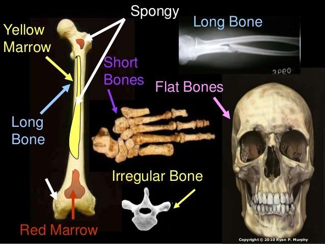 Long Bone Short Bones Irregular Bone Flat Bones Long Bone Red Marrow Yellow Marrow Spongy Copyright © 2010 Ryan P. Murphy