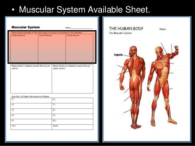 muscular system lesson powerpoint, muscles, human body unit, Muscles