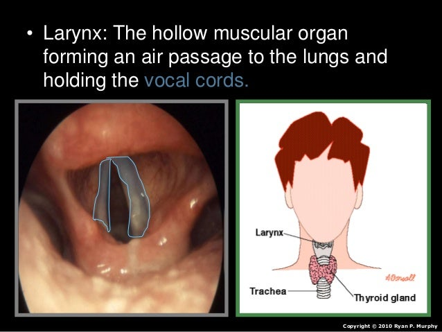 • Larynx: The hollow muscular organ forming an air passage to the lungs and holding the vocal cords. Copyright © 2010 Ryan...