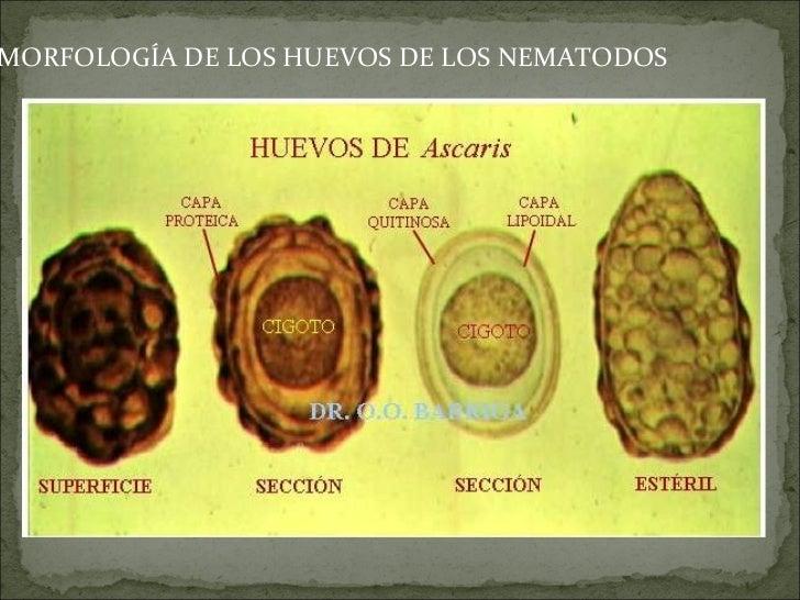 Atlas parasitolog a for Huevo en el ano