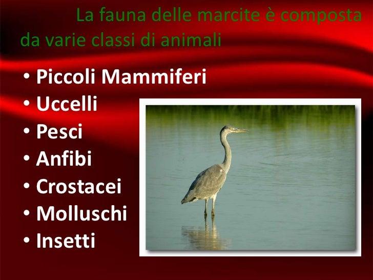 La fauna delle marcite è compostada varie classi di animali• Piccoli Mammiferi• Uccelli• Pesci• Anfibi• Crostacei• Mollusc...