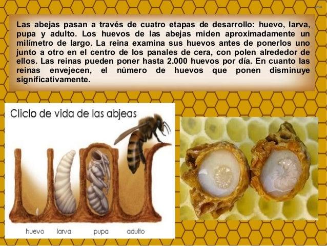 Image: Partenogénesis y ciclo biológico de las abejas.
