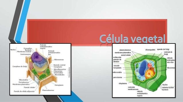 La célula vegetal adulta se distingue de otras células eucariotas, como las células típicas de los animales o las de los h...
