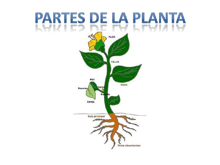 Partes de la planta for Como se llaman las plantas ornamentales