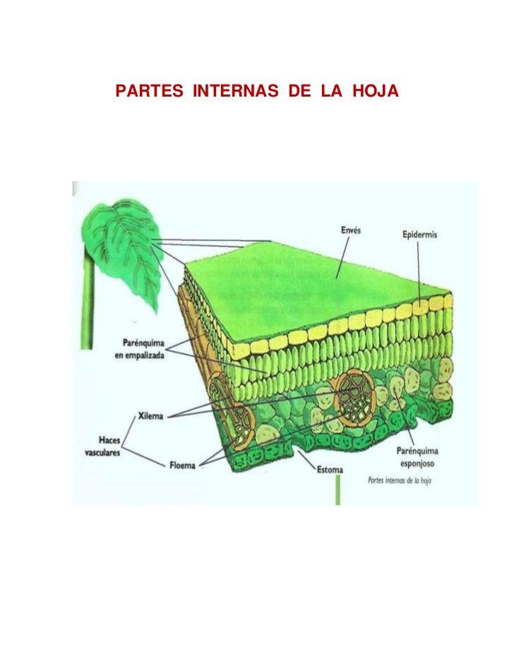 PARTES  INTERNAS  DE  LA  HOJA<br />1524088265<br />PARTES  EXTERNAS  DE  LA  HOJA<br />133921567310<br />PARTES  EXTERNAS...