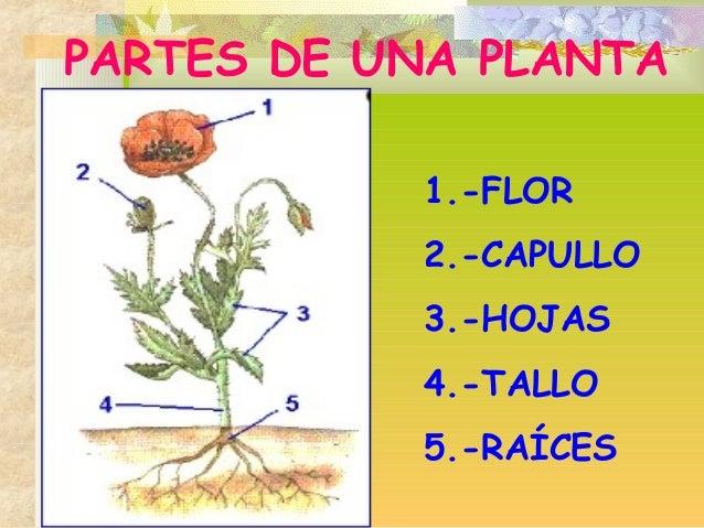 1.-FLOR 2.-CAPULLO 3.-HOJAS 4.-TALLO 5.-RAÍCES PARTES DE UNA PLANTA