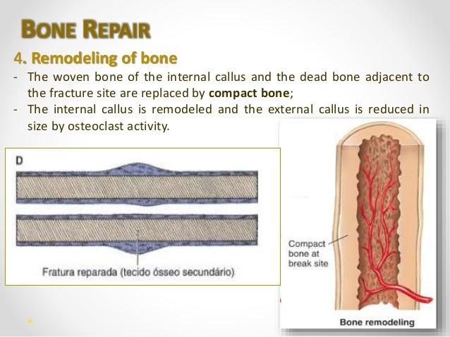 human bone tissue, Muscles