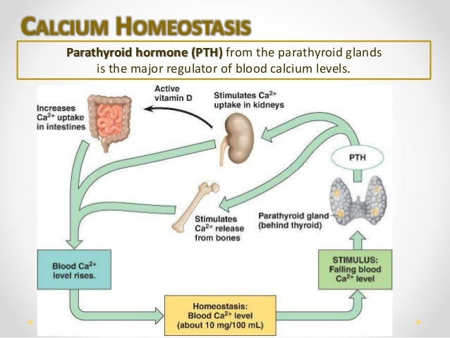 Human Bone Tissue. Calcium Homeostasis Parathyroid. Wiring. Bones In Calcium Homeostasis Diagram At Scoala.co