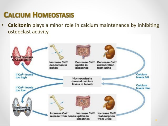 Human Bone Tissue. Calcium Homeostasis. Wiring. Bones In Calcium Homeostasis Diagram At Scoala.co