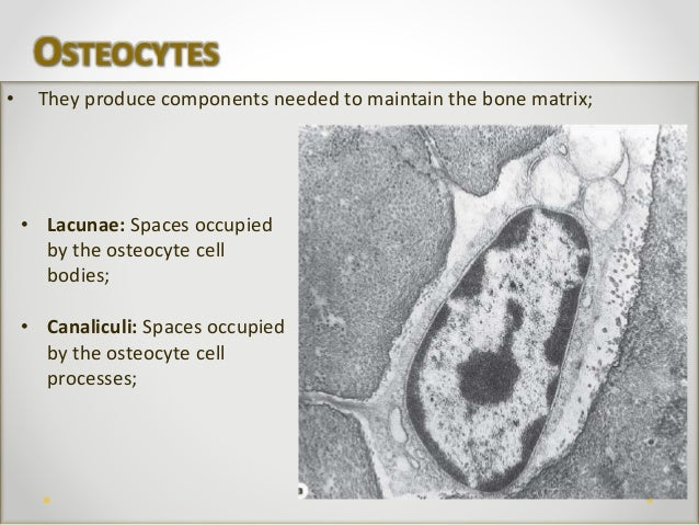 bone tissue Bone tissue quiz questions by tama cruz-salvadores (1) the process of blood cell formation, hematopoiesis or hemopoiesis, takes place: a in the liver: b.