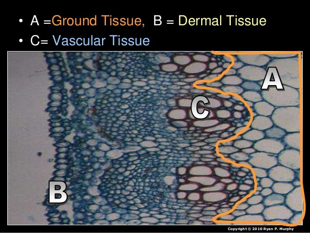 • A =Ground Tissue, B = Dermal Tissue • C= Vascular Tissue Copyright © 2010 Ryan P. Murphy