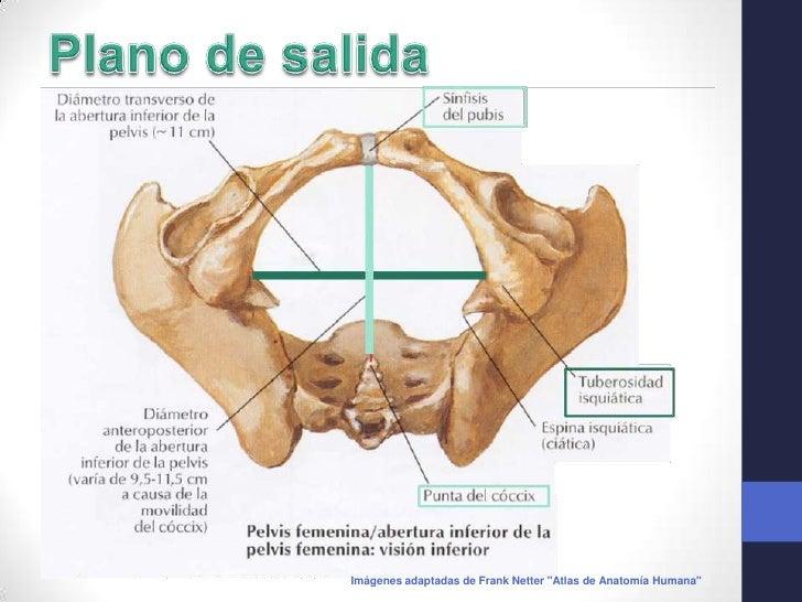 Anatomía de la pelvis, con orientación ginecoobstétrica