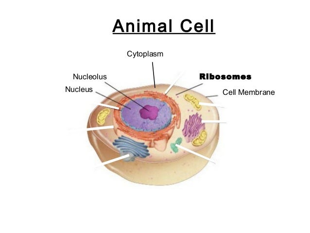 Parts of the cell 4 go to section animal cell nucleus nucleolus ccuart Choice Image