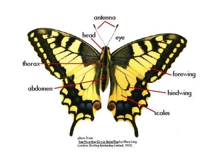 Butterfly Body Parts : Parts of a butterfly