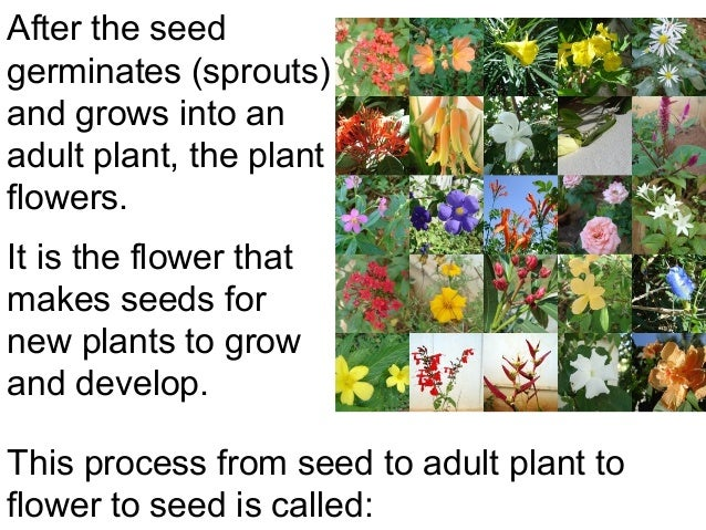After the seedgerminates (sprouts)and grows into anadult plant, the plantflowers.It is the flower thatmakes seeds fornew p...