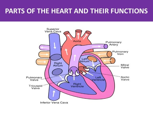 Parts of the Heart and Their functions