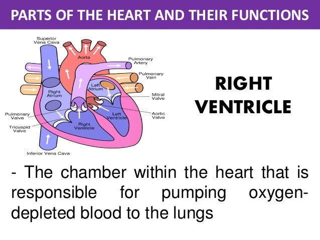 the role of the atrium in Study exercise 30: anatomy of the heart flashcards taken from the book human anatomy & physiology laboratory manual.