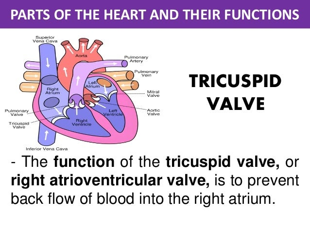Parts of the heart and their functions parts of the heart and their functions tricuspid ccuart Gallery